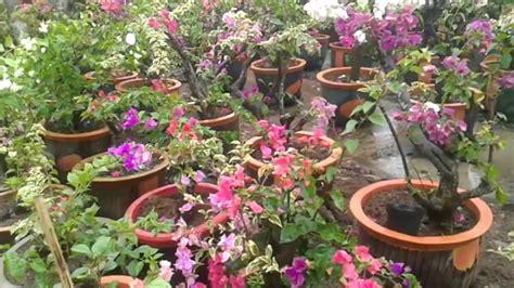 klasifikasi  morfologi tanaman bunga kertas