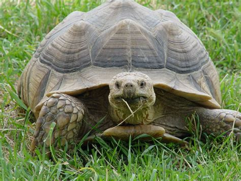 6 Reasons To Get A Tortoise by Diet Guidelines Ojai Sulcata Project