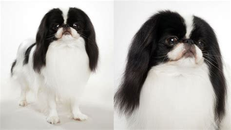japanese breeds japanese chin breed selector animal planet