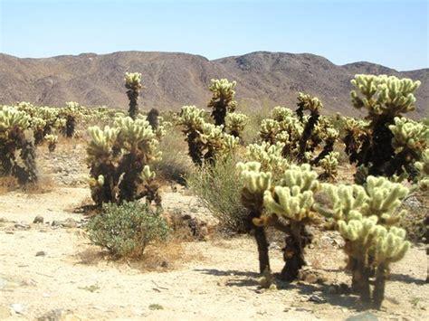 Cholla Cactus Garden by Cholla Cactus Garden Joshua Tree National Park Ca Top