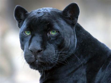 pantera negra wallpaper felinos ferozes pinterest