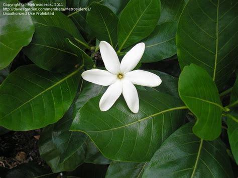 Gardenia Tiare Tiare Flower Tahitian Gardenia Tahiti