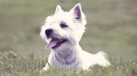 styles of clips for west highland terriers haircut styles for a west highland white terrier petcarerx