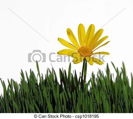 foto margherita fiore fiore primaverile margherita prato fiore primavera