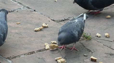 pigeon eating bread youtube