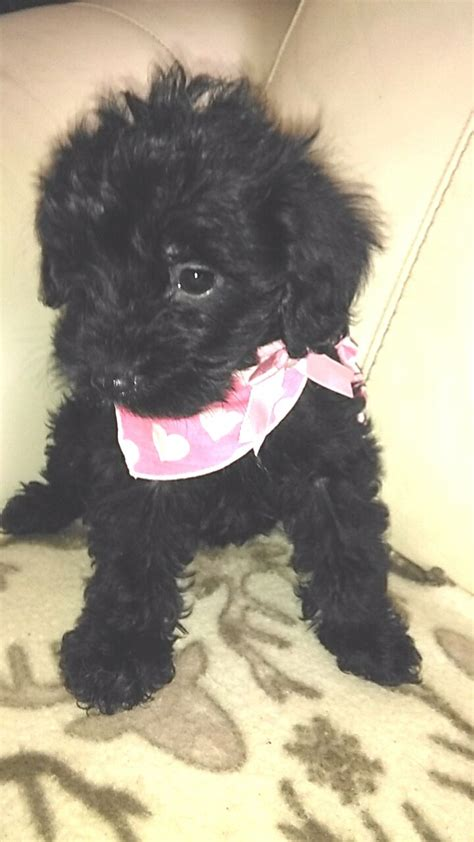 yorkie poo 1 year ruby 1 tiny yorkie poo left slough berkshire pets4homes