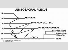 Sacral Plexus Diagram Lumbosacral pl   A.P.P.   Plexus ... Brachial Plexus Drawing