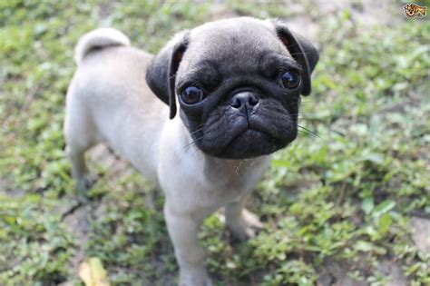 why do pugs flat noses pugs and breathing issues pets4homes