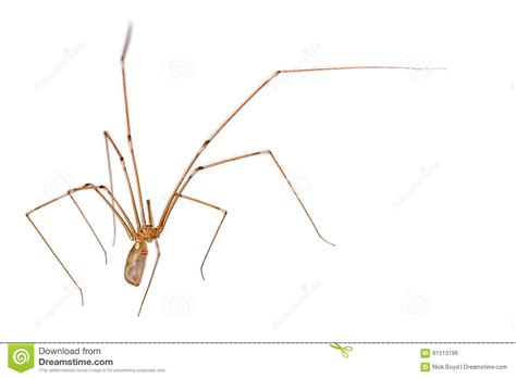 pubic hair spiders daddy long legs with hair daddy long legs with hair