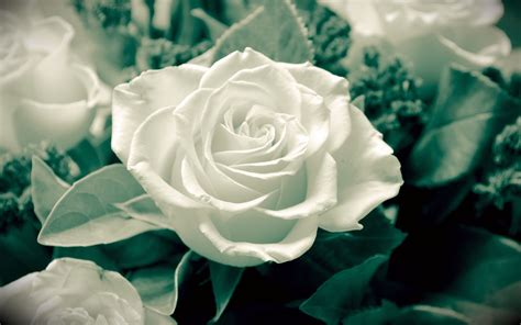 hd rose wallpaper for android phone lovely white rose nature popular flowers hd wallpaper
