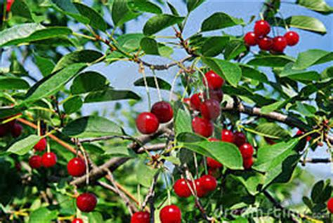 wisconsin cherry picking door county cherry festival