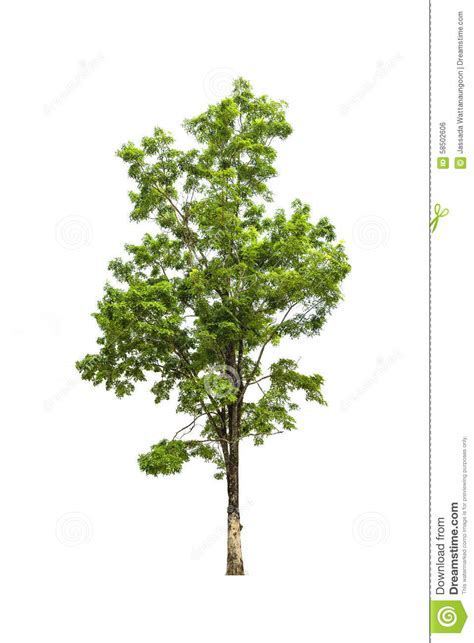white and green tree green tree isolated on white stock photo image 58502606