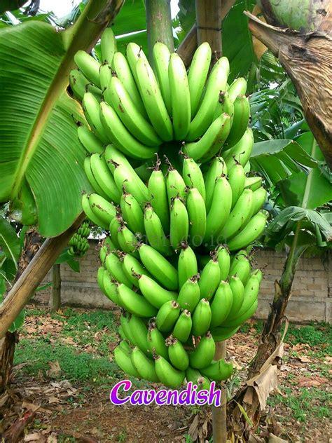 Bibit Buah Unggulan bibit pisang kultur jaringan jenis buah pisang unggulan
