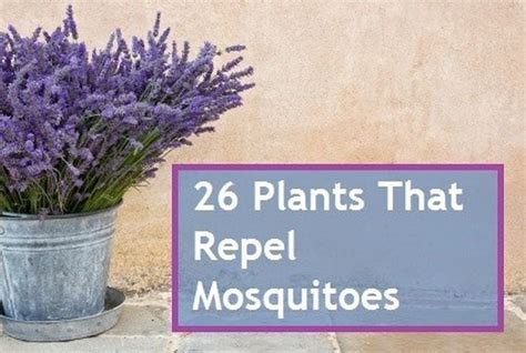 plants that repel mosquitoes pin by laura lee on yard and garden pinterest
