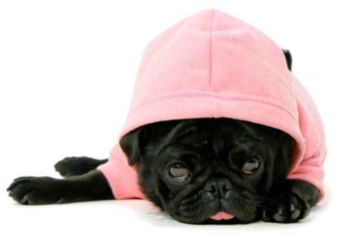 puppy hoodies a useful guide on hoodies bandanas
