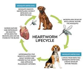home remedies for heartworms in dogs heartworm facts prevalence medication and alternative