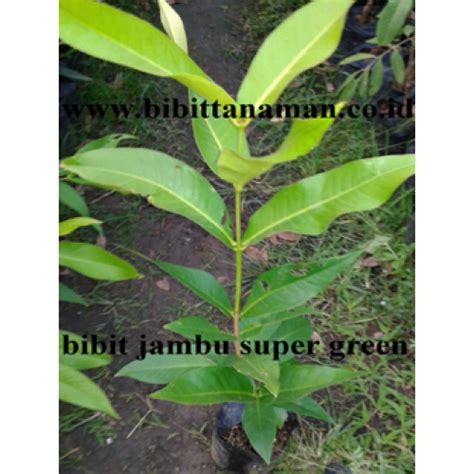 Bibit Buah Jambu Air Unggul jual bibit tanaman unggul murah di purworejo
