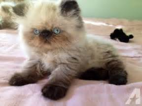 Beautiful cfa registered persian himalayan kittens sold for sale in