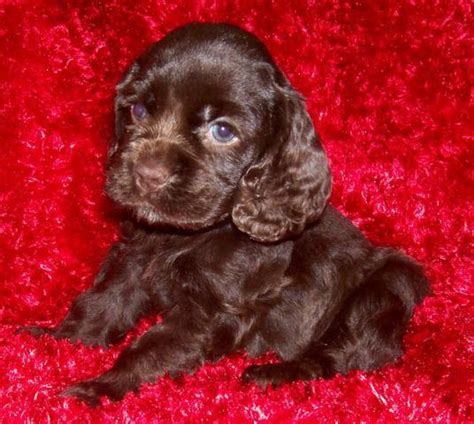 chocolate cocker spaniel puppies akc chocolate cocker spaniel puppies females we ship