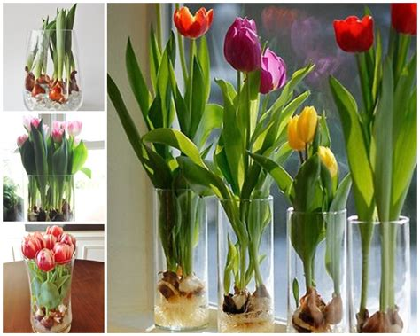 wonderful growing tulips in vase