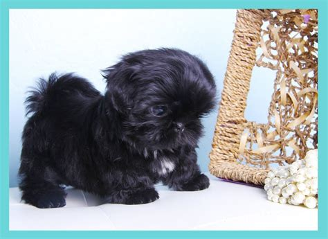 black miniature shih tzu tiny solid black shih tzu