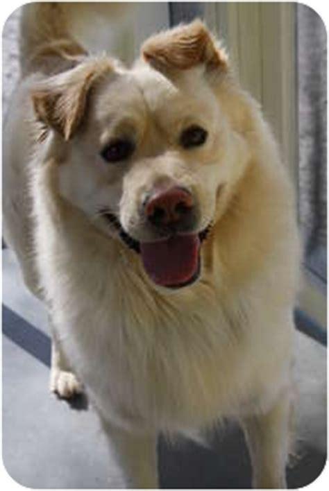 golden retriever puppies huntsville al adopted huntsville al golden retriever samoyed mix