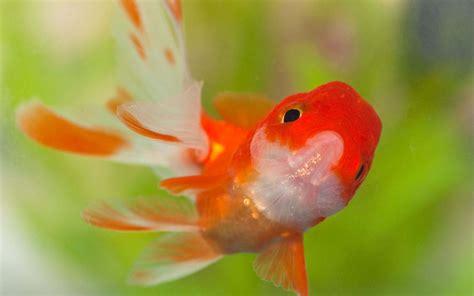 goldfish hd wallpaper goldfish wallpaper