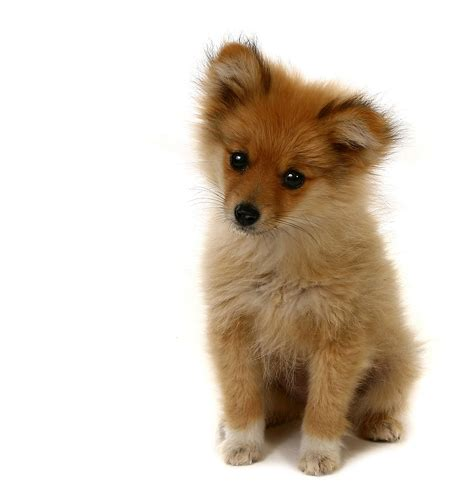 how to house a pomeranian pomeranian puppies how to potty a toddler in one day