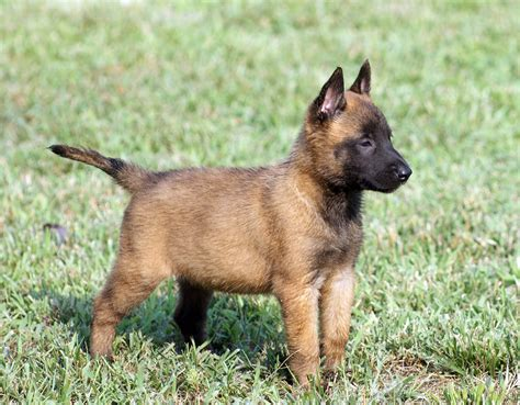 belgian dogs singapore belgian malinois breeders grooming puppies reviews gnewsinfo