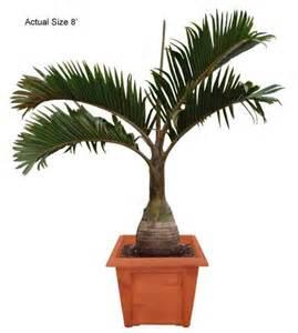 Pics photos palm tree bottle palm tree bismarck palm
