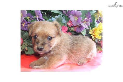 free puppies in spokane norfolk terrier for sale for 1 299 near spokane coeur d alene washington