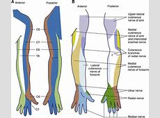 The Prevention and Recognition of Ulnar Nerve and Brachial ... Brachial Plexus Drawing
