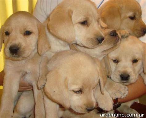 golden retriever precio argentina vendo cachorros labrador golden retriever en jes 250 s mar 237 a tel 233 fono