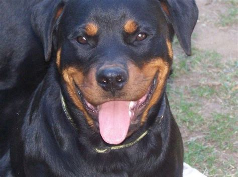 rottweiler breeders qld rottweiler breeders a guide to selecting the best queensland coalfire rottweilers