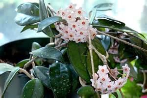 best low light houseplants hoya carnosa