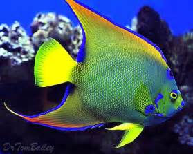 Queen angel fish here s a magnificent queen angelfish that s lived