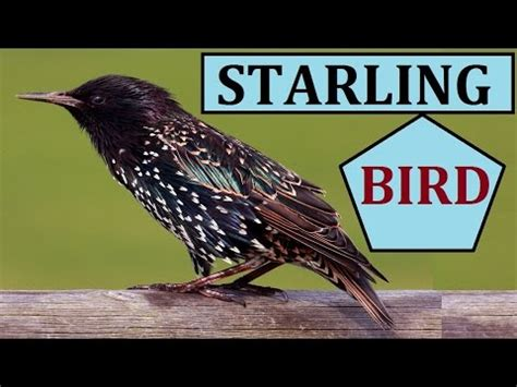 european starling call sparrow birds chirping sounds sound