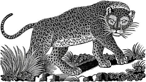 clipart domain domain leopard image the graphics