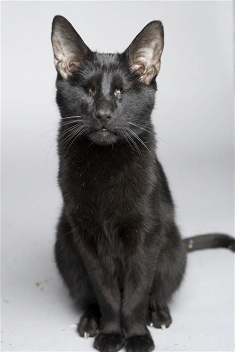 Homer Blind Cat sandpiper cat meet gwen cooper author and blind cat activist