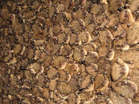 Obat Kanker Serviks Ganoderma Plus Capsule backgrounds archive brown bat colony