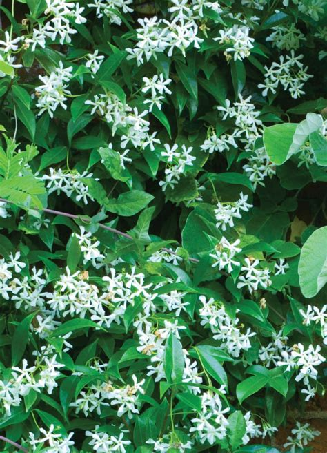 Fragrant Plants Florida - 10 easy care plants for san diego gardens install it direct