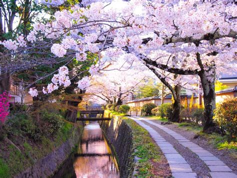 cherry tree 2018 cherry blossom japan 2018 forecast the dates top 10 best places to see cherry blossoms in
