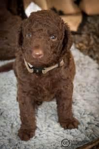 Curly Coated Retriever Puppy #5 | Mattias Agar | Flickr