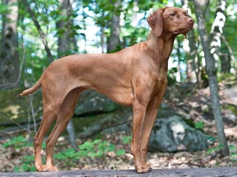 vizsla puppies oregon german shorthaired pointer breeders in oregon freedoglistings