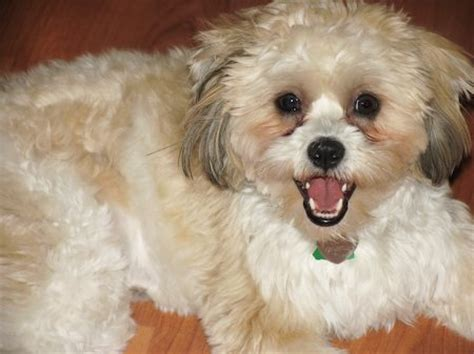 bichon and shih tzu mix shelby the shih tzu bichon frise mix dogs daily puppy