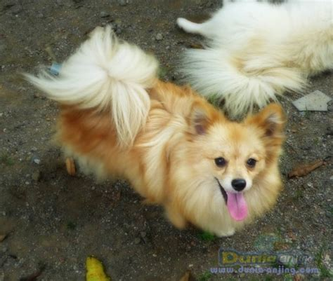 Pom Pom Warna Cur 15mm dunia anjing jual anjing lainnya mix breed dijual pom non stambum