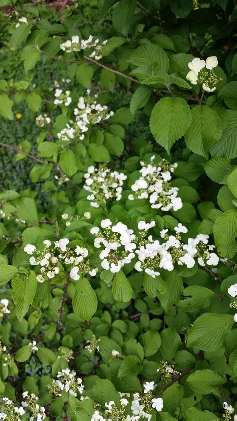 shrub with small white flowers in identification what is this shrub with clumps of small