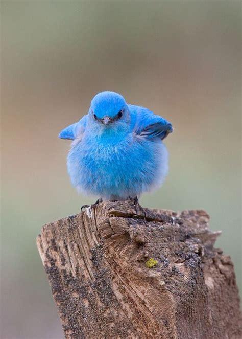 baby bluebird aww