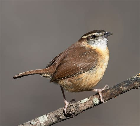 carolina wren roads end naturalist