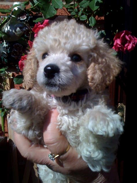 mini poodle for sale poodle for sale sheffield south pets4homes